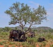 Африканская группа семьи буйвола Стоковые Изображения