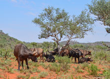 Африканская группа семьи буйвола Стоковое Фото