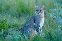 Африканская дикая кошка, lybica кошки, также вызвала Близко Восточн одичалым котом Дикое животное в среду обитания природы, луге  стоковое изображение rf