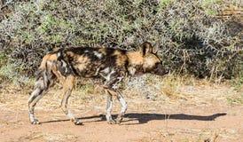 Африканская дикая собака 11 Стоковые Изображения RF