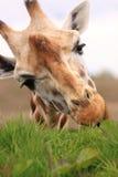 Африканская еда жирафа Стоковое Изображение RF