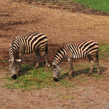 Африканская еда зебры Стоковое Изображение RF