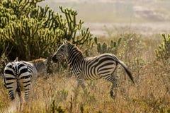 Африканская живая природа, зебры в саванне Стоковое фото RF