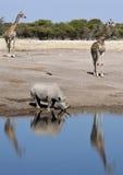 африканская живая природа Намибии etosha стоковые изображения rf