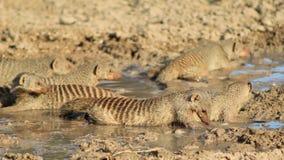 Африканская живая природа - соединенная мангуста, - диапазон братьев 3 Стоковые Фотографии RF