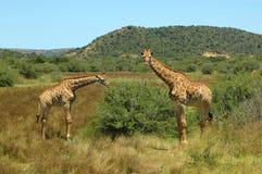 африканская живая природа стоковая фотография
