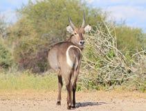 Африканская живая природа - Waterbuck - взгляд назад Стоковые Фотографии RF