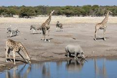 африканская живая природа waterhole Намибии Стоковые Изображения