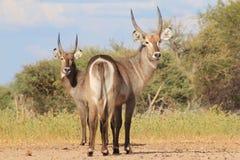 Африканская живая природа - Waterbuck - смотря назад на жизни Стоковые Изображения RF