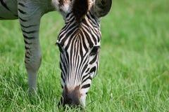 африканская зебра Стоковое Фото