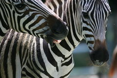 африканская зебра Стоковая Фотография