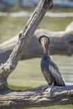 Африканская змеешейка в национальном парке Kruger, Южной Африке стоковая фотография rf