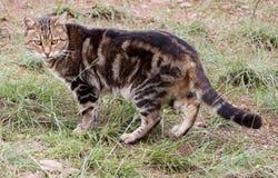 Африканская дикая кошка Стоковая Фотография RF
