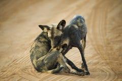 Африканская дикая собака Стоковые Фото