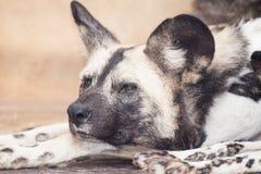 Африканская дикая собака Стоковые Фотографии RF