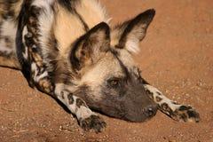 Африканская дикая собака Стоковое Изображение