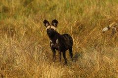 Африканская диких собак еда доли всегда Стоковое Фото