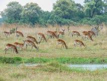 Африканская импала, melampus aerpyceros, Ботсвана стоковое изображение rf