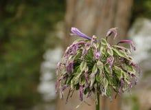 африканская лилия Стоковое Изображение RF