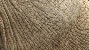 Африканская кожа africana Loxodonta слона куста видеоматериал