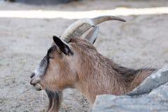 Африканская коза пигмея рядом с утесом Стоковое Изображение RF