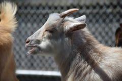 Африканская коза пигмея (hircus Capra) Стоковые Изображения