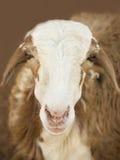Африканская коза Стоковые Изображения RF