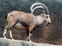Африканская козочка горы Стоковое Изображение
