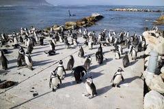 Африканская колония пингвина на заливе Южной Африке Бетти Стоковые Изображения RF