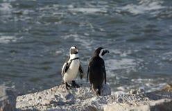 Африканская колония пингвина на накидке Южной Африке залива Бетти западной Стоковые Изображения RF