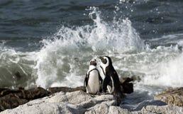 Африканская колония пингвина на накидке Южной Африке залива Бетти западной Стоковые Фото