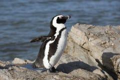 Африканская колония пингвина на накидке Южной Африке залива Бетти западной Стоковое Фото