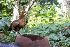 Африканская курица стоя блюстительно стоковая фотография rf