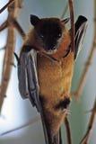 африканская летучая мышь Стоковая Фотография