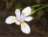 африканская лилия радужки полмесяцы Стоковая Фотография RF