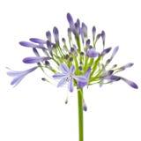 африканская лилия Стоковое Фото