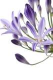 африканская лилия Стоковая Фотография RF