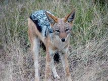 африканская лисица Стоковые Фотографии RF