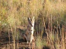 африканская лисица Стоковая Фотография RF