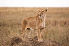 Африканская львица на холме термита в национальном парке Serengeti Стоковое Изображение