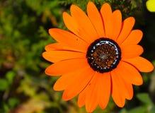 африканская маргаритка Стоковое фото RF