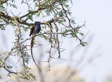Африканская мухоловка рая & x28; Viridis& x29 Terpsiphone; в дереве в Sou Стоковая Фотография RF