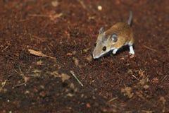 Африканская мышь пигмея стоковые изображения rf