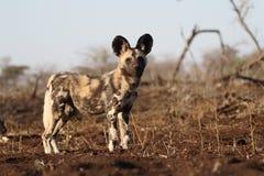 Африканская охотничья собака накидки, pictus Lycaon стоковые изображения rf