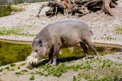 Африканская одичалая свинья Стоковое фото RF