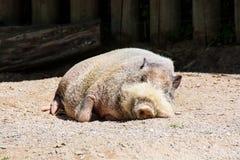 Африканская одичалая свинья Стоковая Фотография