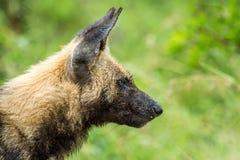 Африканская одичалая собака Стоковое Изображение