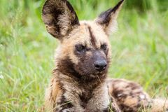 Африканская одичалая собака Стоковые Изображения