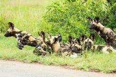 Африканская одичалая собака Стоковая Фотография RF