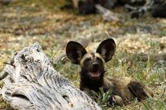 Африканская одичалая собака Стоковое фото RF
